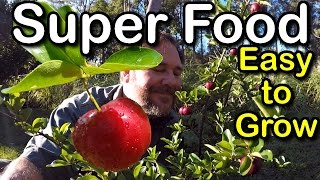 Try Growing Barbados Cherry for Hot Climates (low chill) How-to Superfood
