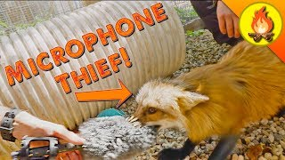 Fox Steals Microphone!