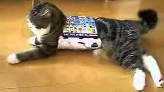 Katze Flutscht Durch den Karton! [FUN!]
