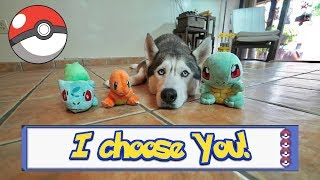 Husky Chooses His Starter Pokemon!
