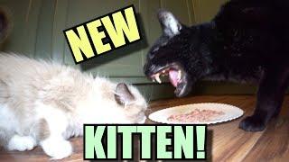 Talking Kitty Cat - Meet The New Kitten!