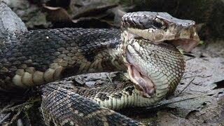 Cottonmouth vs Rattlesnake 01 - Cottonmouth Kills & Eats Rattlesnake