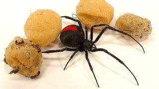 4 Deadly Spider Egg Sacs Whats Inside Is Amazing & SCARY