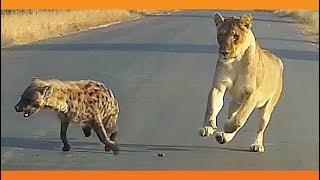 Three-Legged Hyena Falls Right Into Lion