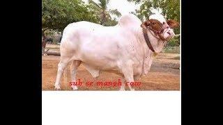 Biggest Cow In Lahore 2017