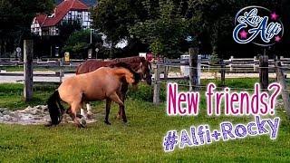 Lia & Alfi - Wenn Ponys sich kennen lernen - Pferdesprache