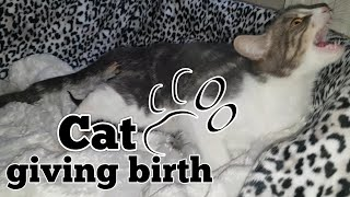 CAT GIVING BIRTH. THE 3 STAGES OF CAT BIRTH. ASMR STYLE.
