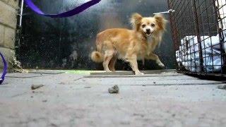 Rescuing 4 Pomeranians that were dumped on the streets. (By Eldad Hagar)