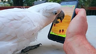 Umbrella Cockatoo playing Ant Crusher