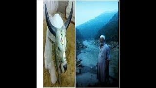 cow qurbani 2017 ||peshawar||چاچو ان ایکشن