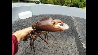 HUGE MUDCRAB  -Catch N Cook- Caught In The Mangroves!