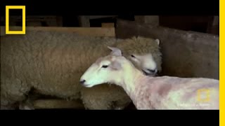 From Sheep to Rug | National Geographic