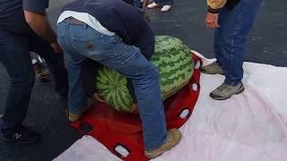350.5 Kent Giant Watermelon.OVGPG 2013