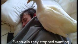 My Pet Ducks