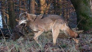 Polizei in Sachsen Anhalt darf ab jetzt auf Wölfe schießen