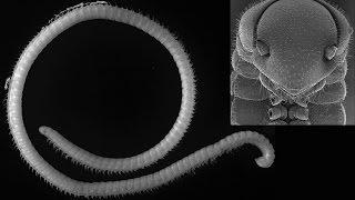 Illacme tobini - new millipede species