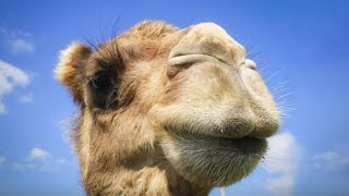 You have no idea where camels really come from   Latif Nasser