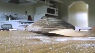Lebende Muschel leckt Salz vom Küchentisch