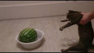 Кот панически боится арбуза)))