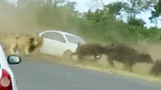 Lions Chase Buffaloes Into Tourist