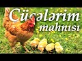 AY MENIM CUCELERIM 🐣 CIP CIP CUCELERI...mp3