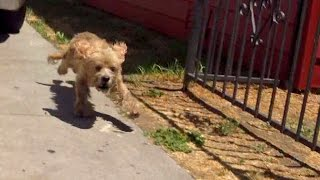 A starving Cocker Spaniel rescued off the streets of Los Angeles.  Please help find him a home.