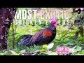 Top 10 Most EXOTIC Chicken Breeds | Top ...mp3