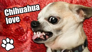 36 Angry Chihuahuas   Try Not To Laugh   That Pet Life