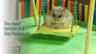 Tiny Dwarf Hamster in a Tiny Playground