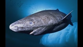 Sharks That Live For 400 Years