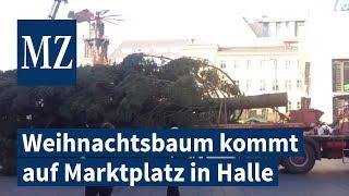 Der Weihnachtsbaum aus Osmünde kommt auf dem Marktplatz in Halle an