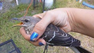 """How to Catch a Mockingbird"" (or... ""Stupid Bird Catches Self"")"