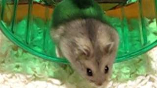 Brand new hamster gets used to her cage