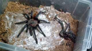Tarantula Feeding #12