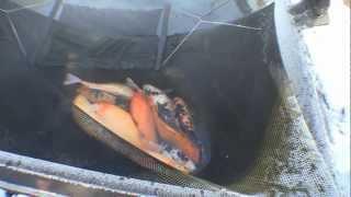 Guahoo Известная инкубация карпа рыбы видео термобелья Craft