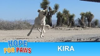 Labrador Retriever abandoned in the desert and was too scared to let us help her.