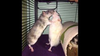 When rats do not get along...