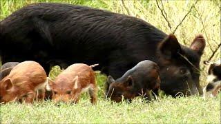 Surprised by Piglets || ViralHog