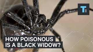 How poisonous is a black widow?