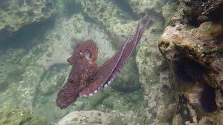 Octopus eats a sea urchin in a tide pool