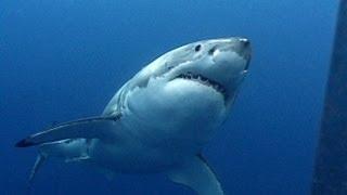 Great White Sharks   JONATHAN BIRD