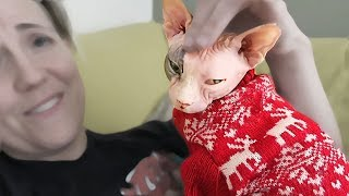 "Meet ""Lady"" the Sweetest Sphynx"