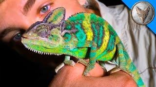 Wild Chameleons in Florida?!