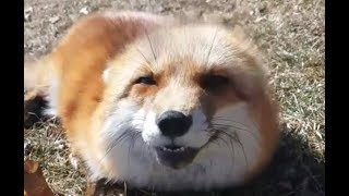 The Happiest Fox