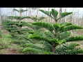 How to prune Araucaria heterophylla || H...mp3