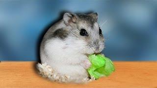 Mein Dsungarischer Zwerg - Hamster ist da!