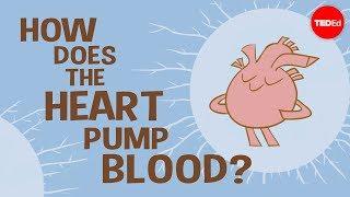 How the heart actually pumps blood - Edmond Hui