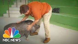 Bilingual Pot-Bellied Pig Responds To Commands In English And Spanish | NBC News