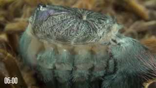Tarantula molting is like alien from science fiction movie! A must watch!