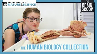 The Human Biology Collection